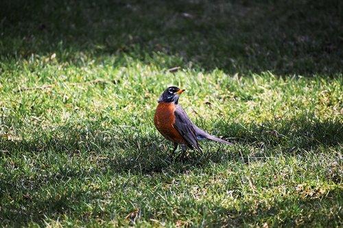 bird  robin  american robin