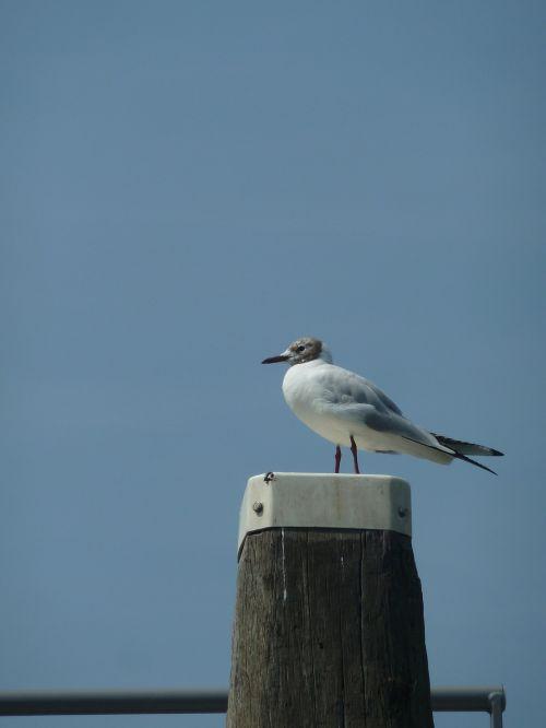 bird air seagull