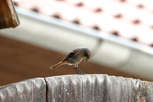 bird  rotschwaenzchen  black redstart