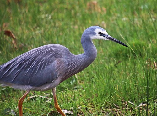bird  grey heron  wildlife