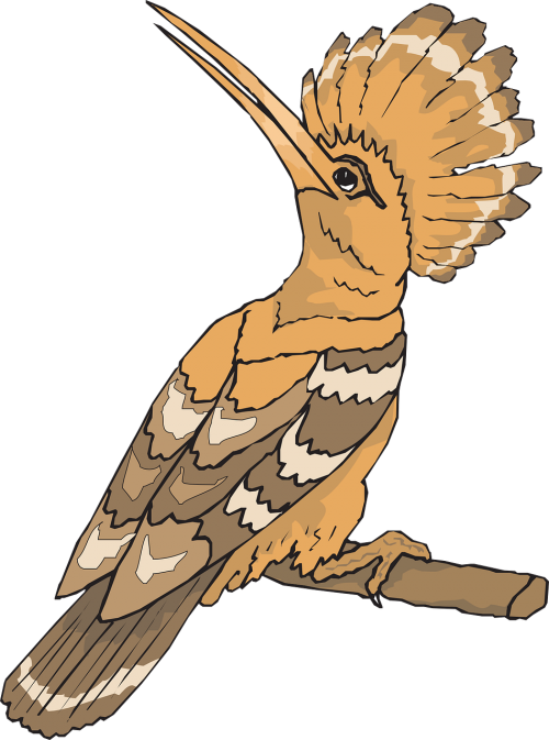 bird hoopoe looking