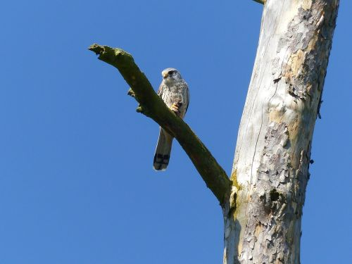 bird falcon raptor