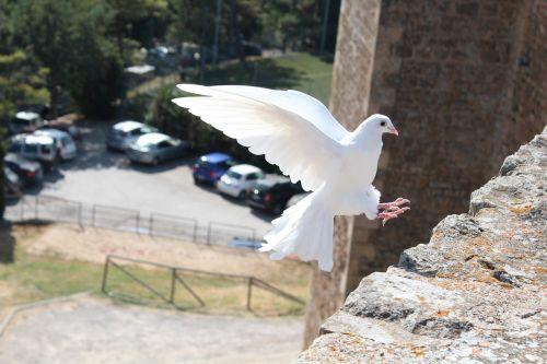 bird dove of peace dove
