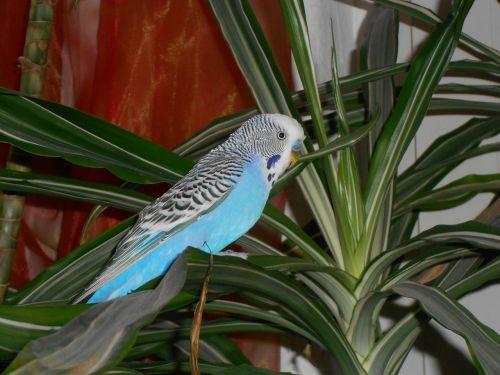 bird wellensttich parakeet