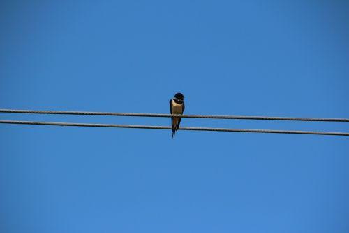 bird schwalbe sky