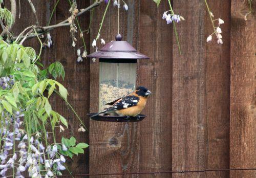 bird grosbeak wildlife