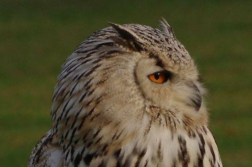 bird owl eagle owl