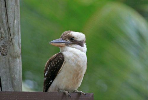 bird kookburra australia