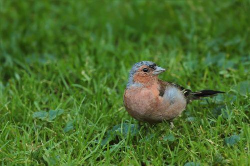 bird chaffinch songbird