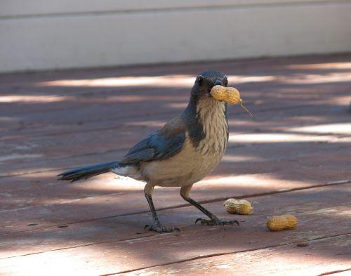 bird blue jay scrub jay