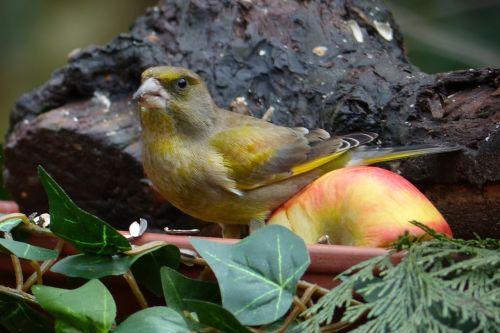 bird greenfinch foraging