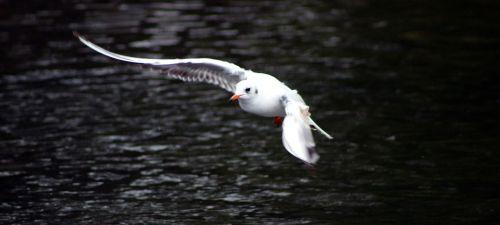 bird seagull nature