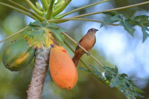 bird papaya thrush