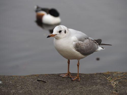 bird pond black-headed gull