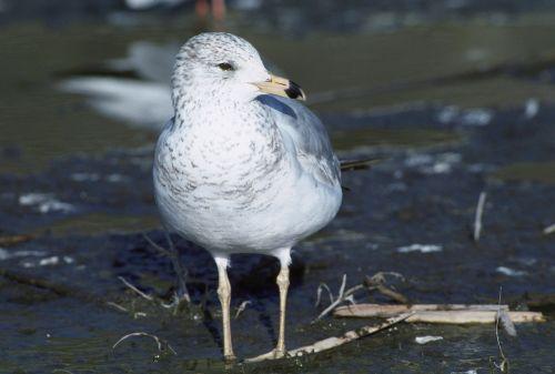 bird california gull seagull