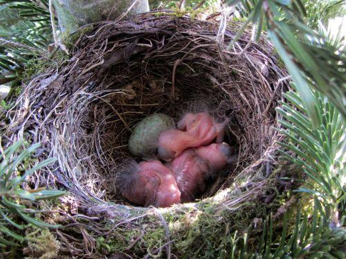 bird blackbird blackbird nest