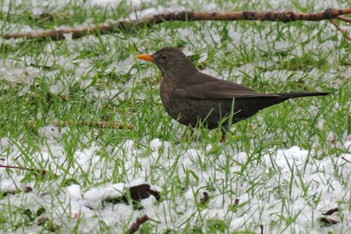 bird,ave,fauna,animal,animals,nature,blackbird,thrush,female,snow,grass,animal world,free photos,free images,royalty free