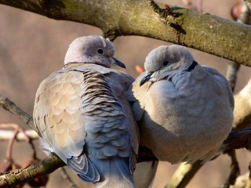 bird dove turtle dove
