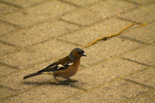 bird songbird chaffinch