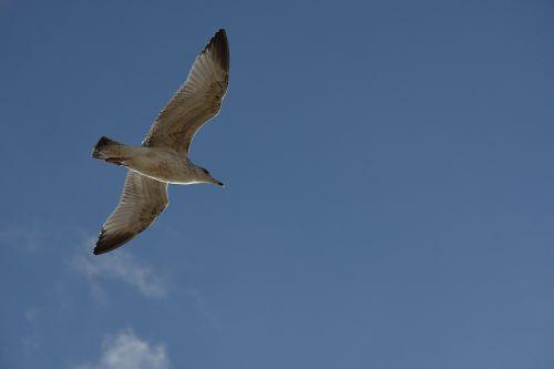 bird seagull flight