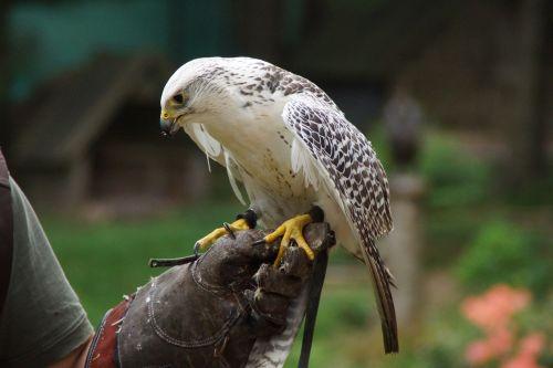 bird raptor falconry