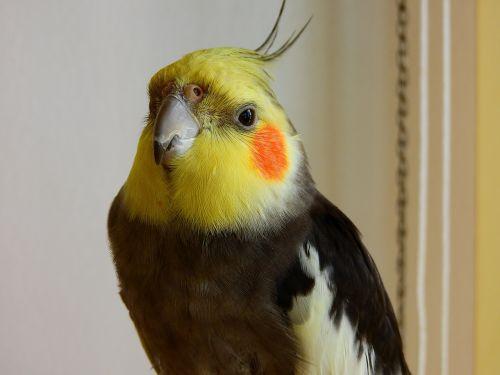 bird cockatiel macro