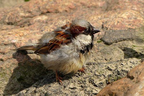 bird sparrow young