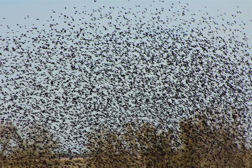 bird flock blackbirds