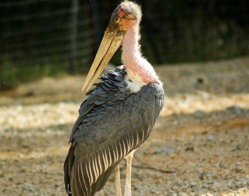 bird marabou beak