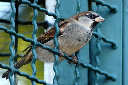 bird sparrow passer domesticus