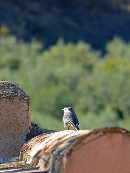 bird motacilla alba roof