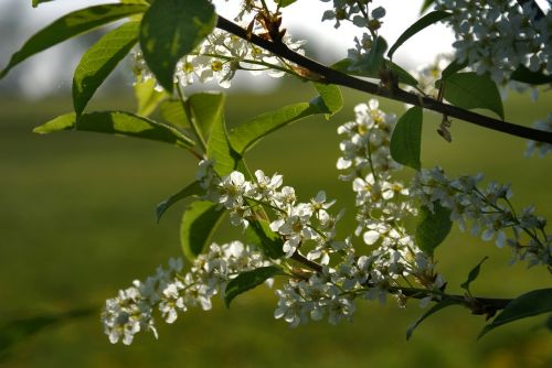 bird cherry padus white flowers