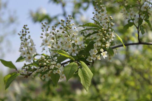 bird cherry bird-cherry branch macro photography
