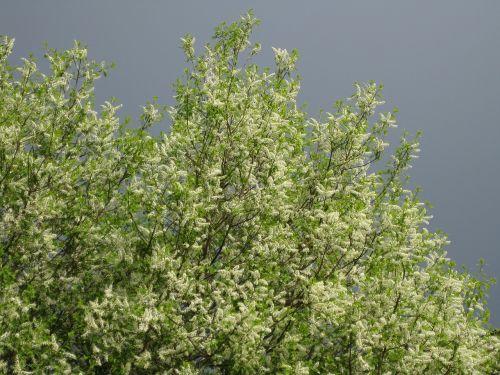 bird cherry bird cherry flowers sky