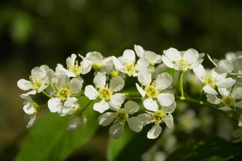 bird-cherry tree  bird cherry  white flowers