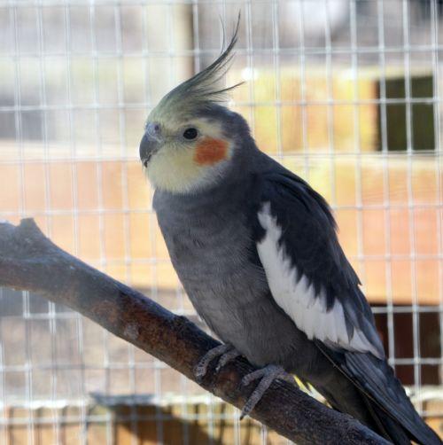 Bird, Cockatiel
