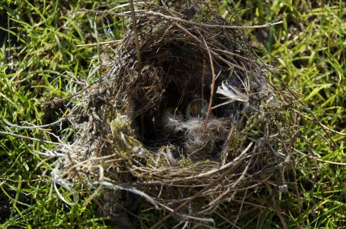 bird eggs,nest robbers,nest,egg,two,elster,scrim,bird's nest,nature,nesting place,tit nest,geräubert,ransacked