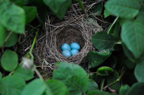 bird eggs  nest  nature