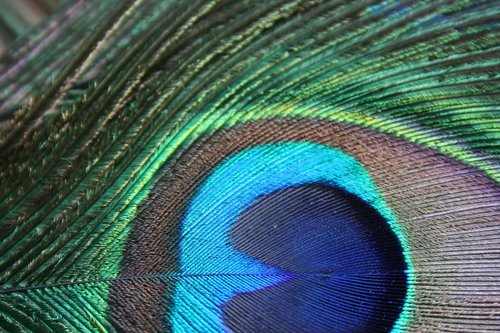 bird feather  feather  peacock feather