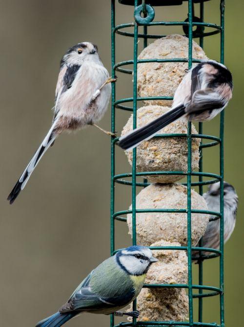 bird feeder tit bird wild bird