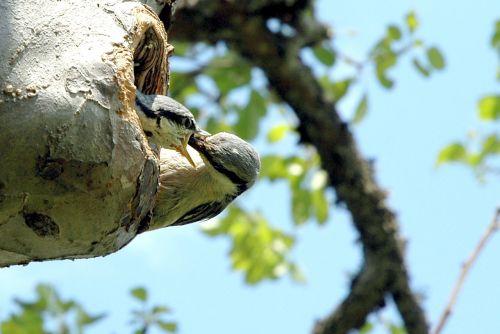 paukštis, maitinti, maitinimas, paukščiai, paukščių maitinimas