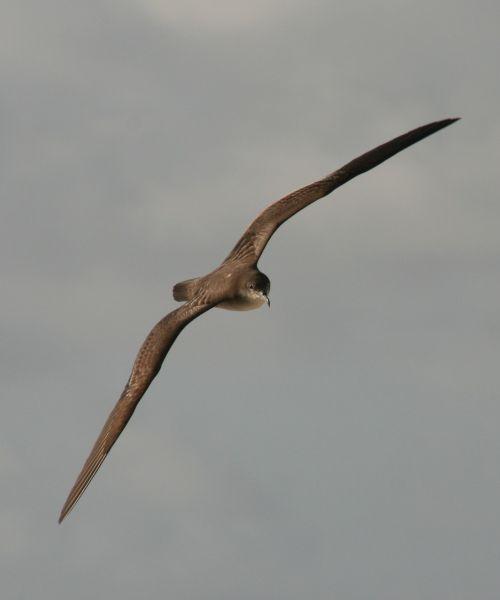 bird flying seabird muttonbird