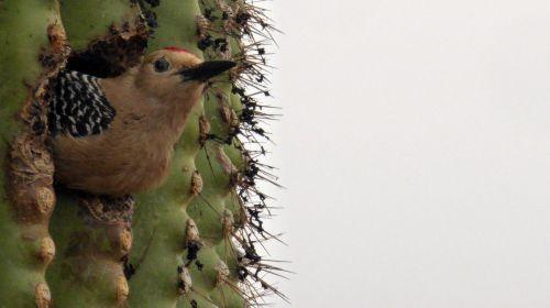 Bird Inside A Saguaro Cactus