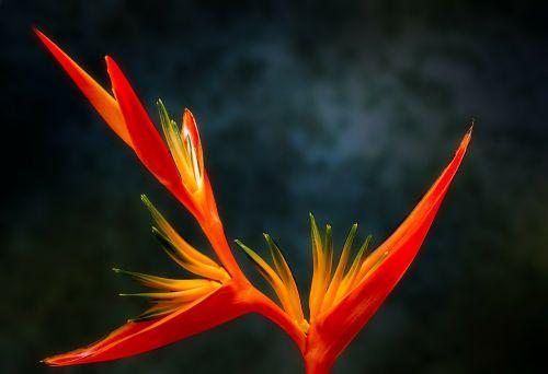 bird of paradise flower paradiesvogelblume