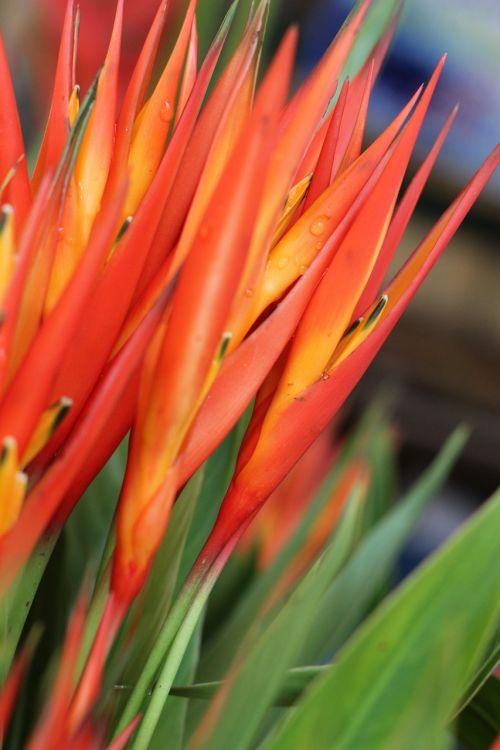 bird of paradise flower market