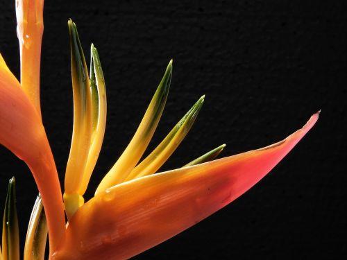 bird of paradise flower caudata blossom