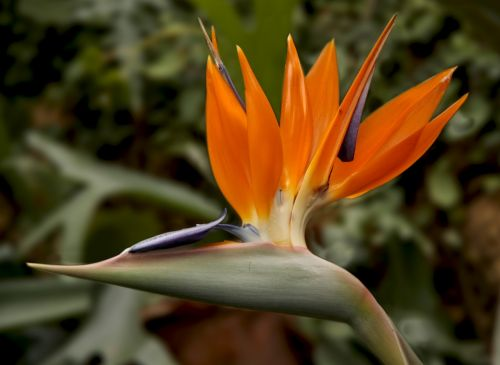 bird of paradise flower strelitzia bird of paradise