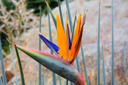 bird of paradise flower caudata caudata greenhouse