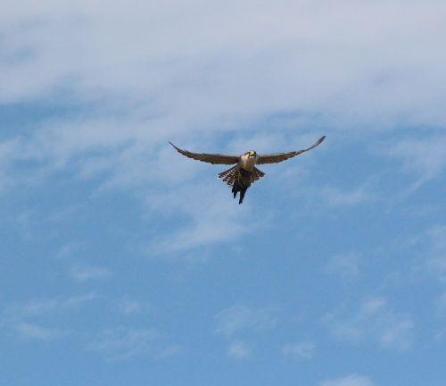 bird of prey bird nature