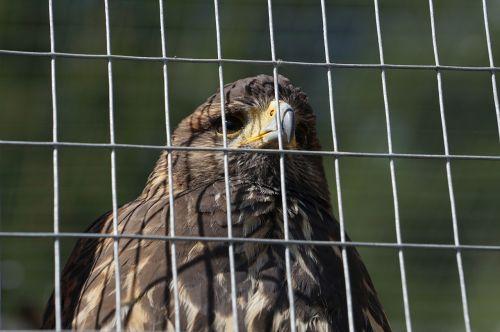 bird of prey mautern styria